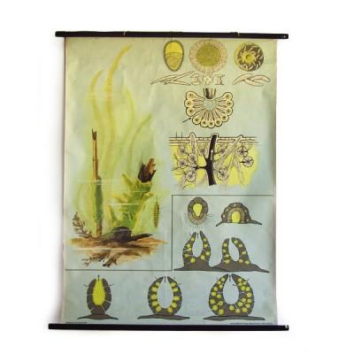 cartel-vintage-botanica-jung-koch-quentell-alga