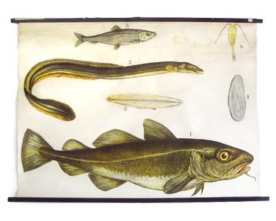 cartel-vintage-zoologia-peces-alemania