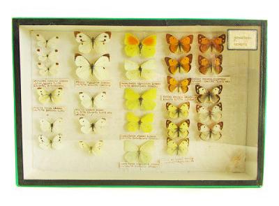 coleccion-de-mariposas-anos-70s-vintage